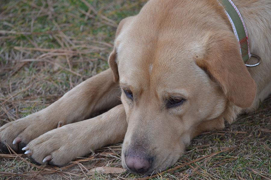 My dog Shine 2012 yellow lab copyright 2012 Sheree Martin